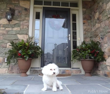 Christmas - Puddy on porch with greenery in urns