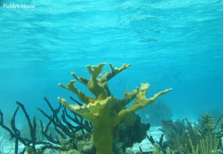 Vacation - Belize snorkeling elk horn coral
