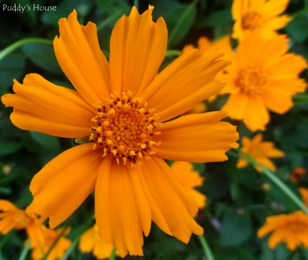 Spring Dreams - Coreopsis close-up