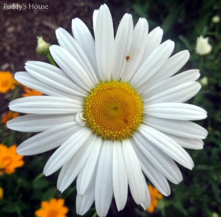Spring Dreams  - Daisy