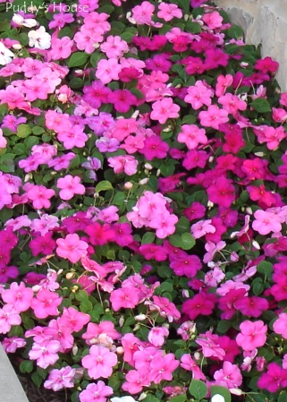 Spring Dreams  - Impatiens