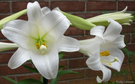 Spring Dreams - Lillies