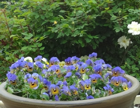 Spring Dreams - Pansies with knockout roses