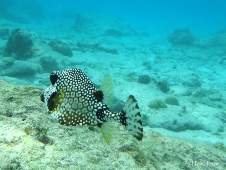 Curacao 2 - Snorkeling Trunk Fish