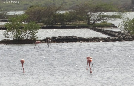 Curacao - Flamingos in water