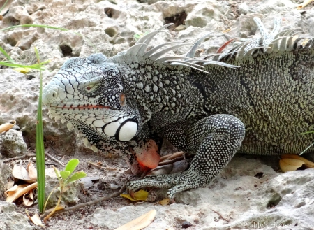 Curacao - Iguana close-up