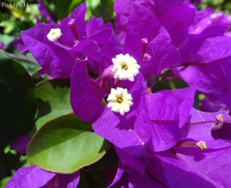 Curacao - Purple Flowers