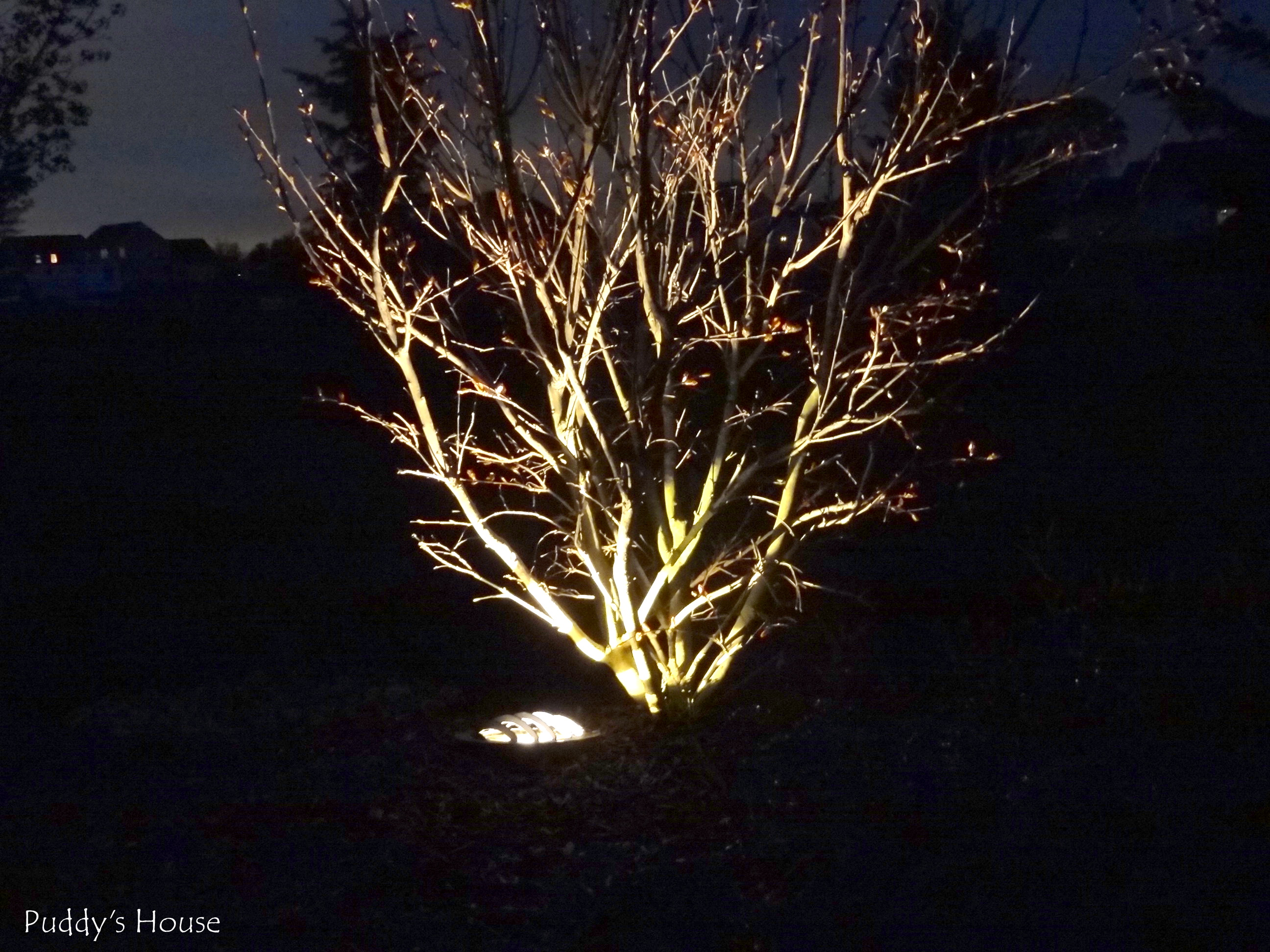 diy landscape lights crape myrtle 2 at night - Solar Landscape Lights