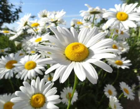 Balance - daisies up close